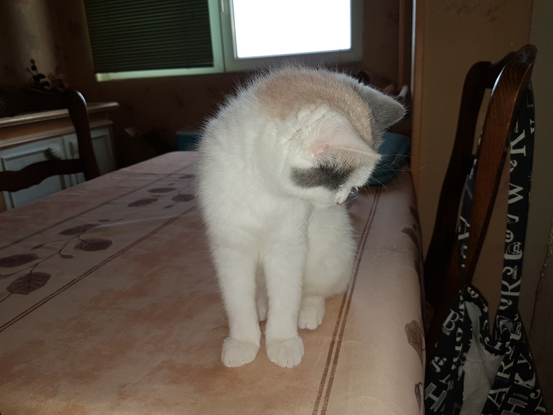 KYTTY - chat femelle, née septembre 2016 - CHEZ LUMINITA - En FA chez Abysse (dpt92) - ADOPTEE PAR SANDRA (depart94) 20161214
