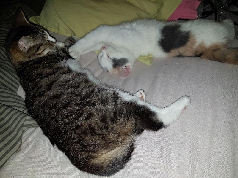 KYTTY - chat femelle, née septembre 2016 - CHEZ LUMINITA - En FA chez Abysse (dpt92) - ADOPTEE PAR SANDRA (depart94) 20161219