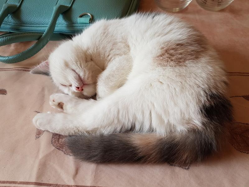 KYTTY - chat femelle, née septembre 2016 - CHEZ LUMINITA - En FA chez Abysse (dpt92) - ADOPTEE PAR SANDRA (depart94) 20161220