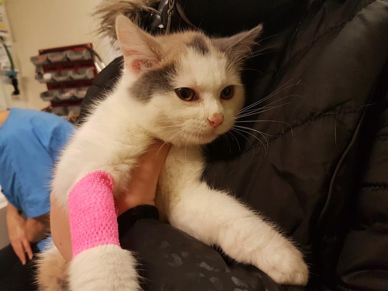 KYTTY - chat femelle, née septembre 2016 - CHEZ LUMINITA - En FA chez Abysse (dpt92) - ADOPTEE PAR SANDRA (depart94) 20161225