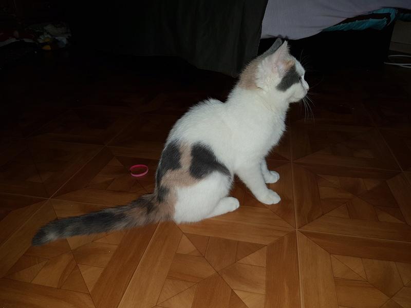 KYTTY - chat femelle, née septembre 2016 - CHEZ LUMINITA - En FA chez Abysse (dpt92) - ADOPTEE PAR SANDRA (depart94) 20170110