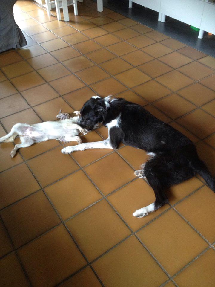 BLACK PEARL, chiot femelle, née en juin 2015 (Pascani)-REMEMBER ME LAND - adoptée par Sonia dans le 57 Black_11