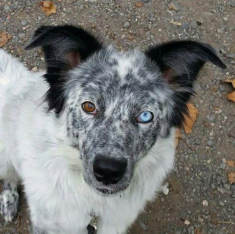 LILI-BLUE (ex BLUESKY),  femelle, sourde aux yeux vairons croisée nordique, taille moyenne, née en 2013(Pascani)- adoptée par Sabrina (34) Bluesk10