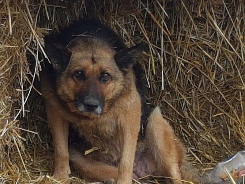 CANDY, femelle âgée berger allemand, née environ en 2006 - en FALD  chez Karine (03) DECEDEE  Candy10