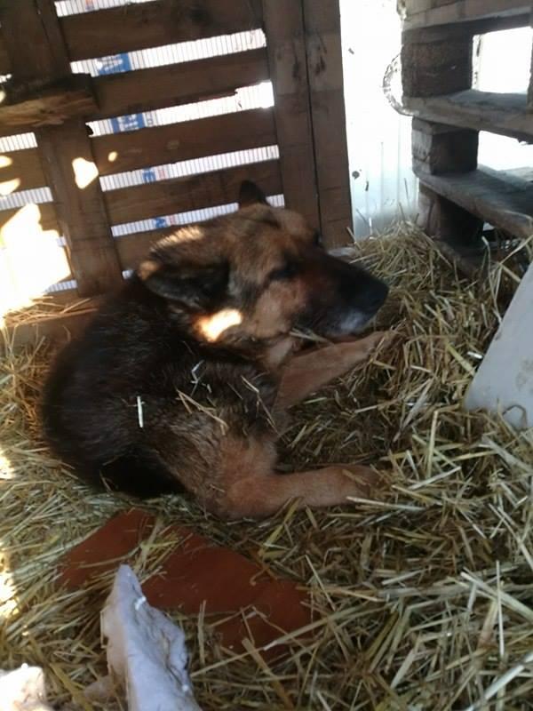 CANDY, femelle âgée berger allemand, née environ en 2006 - en FALD  chez Karine (03) DECEDEE  Candy110