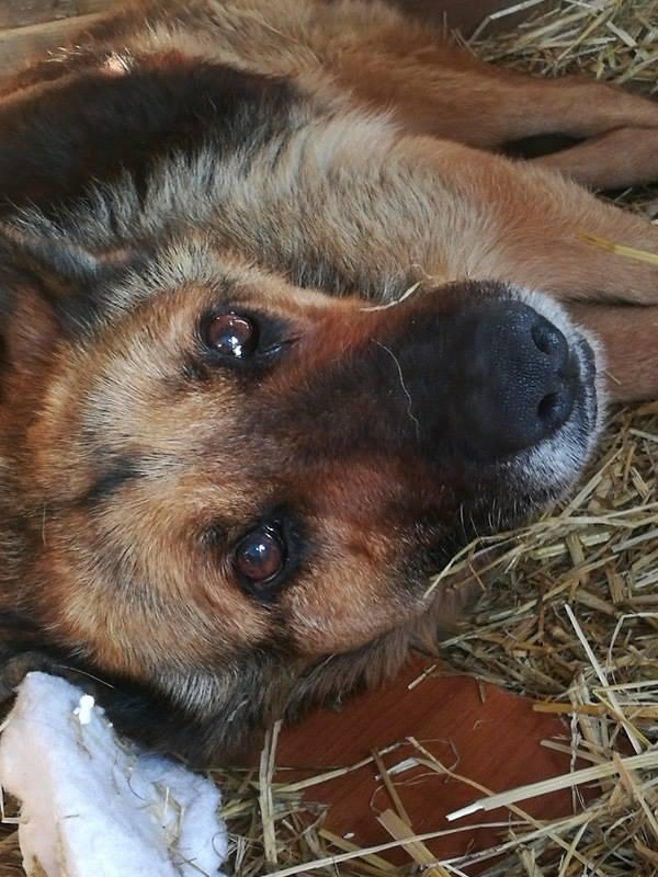 CANDY, femelle âgée berger allemand, née environ en 2006 - en FALD  chez Karine (03) DECEDEE  Candy210