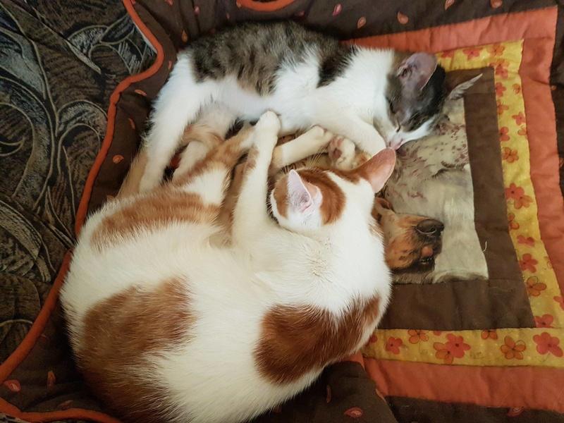 MILKA (ex CLOCHARD) - chaton mâle, né en juin 2016 - En FA chez Abysse (92) - Adopté par Imen (78) Clocha12