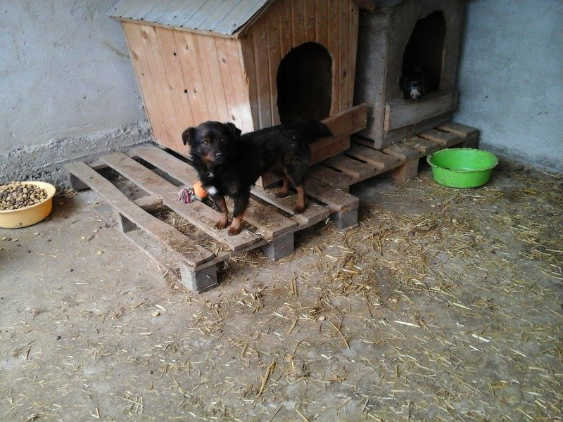 COOKIE, mâle, taille petite, né en 2013, refuge de Alina & Anda - Adopté par Sophie et Nicolas Cookie15