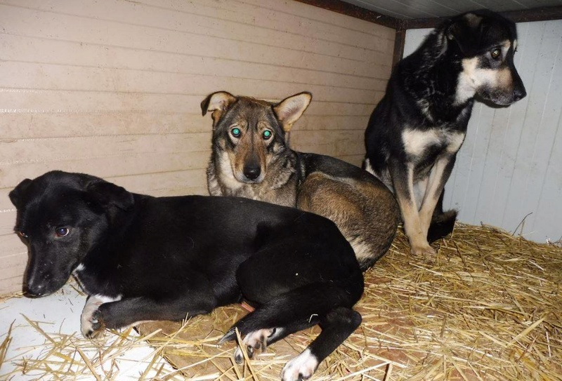 LUPI !! + de 3 ans de box !! - femelle , née environ en 2010, typée chien loup de sarloos, taille moyenne - REMEMBER ME LAND Djenko15