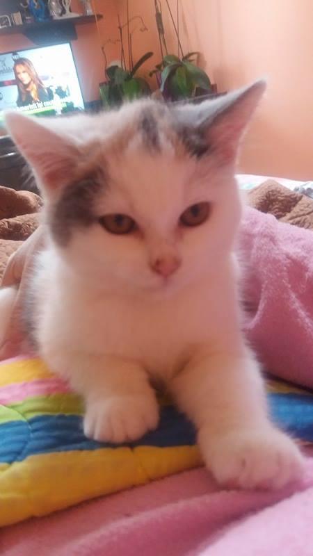 KYTTY - chat femelle, née septembre 2016 - CHEZ LUMINITA - En FA chez Abysse (dpt92) - ADOPTEE PAR SANDRA (depart94) Kytty111