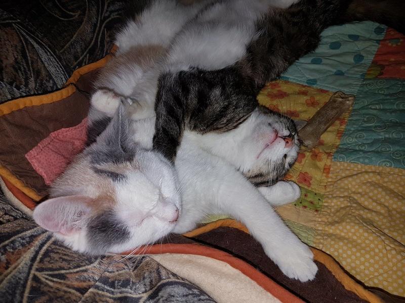 KYTTY - chat femelle, née septembre 2016 - CHEZ LUMINITA - En FA chez Abysse (dpt92) - ADOPTEE PAR SANDRA (depart94) Kytty112