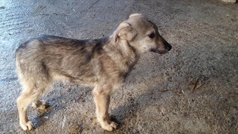 MANAU mâle, croisé berger, né vers juin 2016 - REMEMBER ME LAND - adopté par Sabrina (Belgique) Manau10