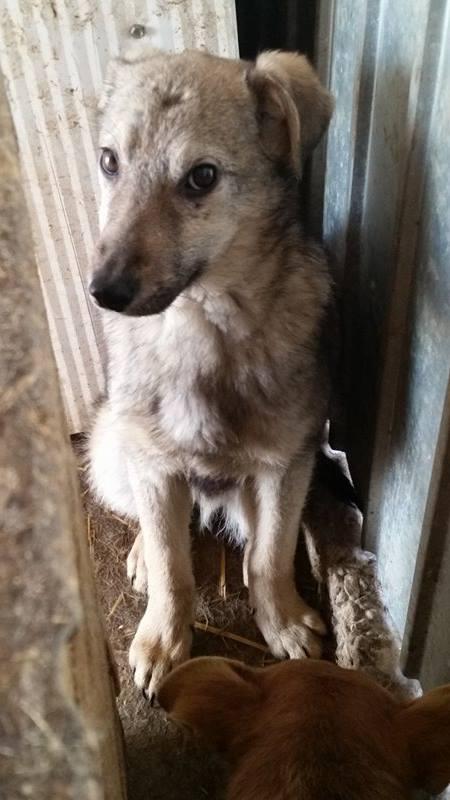 MANAU mâle, croisé berger, né vers juin 2016 - REMEMBER ME LAND - adopté par Sabrina (Belgique) Manau310