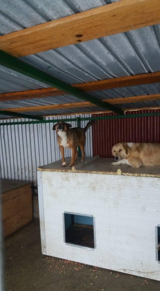 SHYVA - femelle croisée Labrador de taille moyenne à grande, née environ en février 2014 - (Pascani) adoptée par Aurélie (Belgique) - DECEDEE Parker11