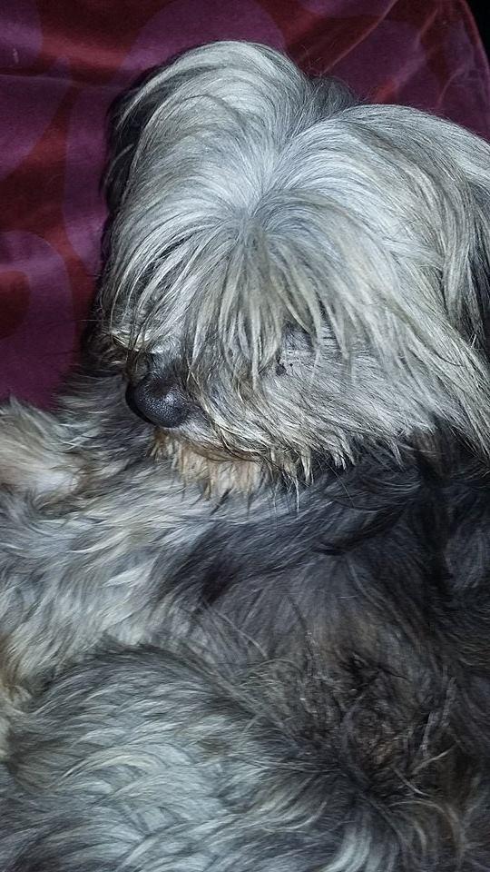 PELOTE, née en 2011, femelle, taille petite croisée yorkshire et ses 2 chiots (Pascani)- chez Marusia - Adoptée par Isabelle (depart57) - DECEDEE - Page 3 Pelote15