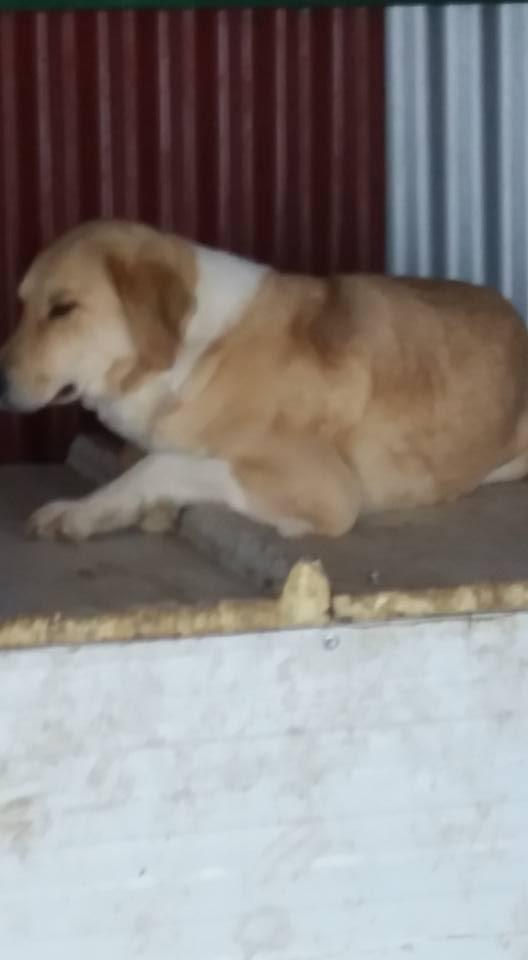 SHYVA - femelle croisée Labrador de taille moyenne à grande, née environ en février 2014 - (Pascani) adoptée par Aurélie (Belgique) - DECEDEE Shiva11
