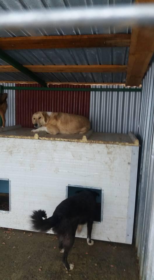 SHYVA - femelle croisée Labrador de taille moyenne à grande, née environ en février 2014 - (Pascani) adoptée par Aurélie (Belgique) - DECEDEE Shyva110