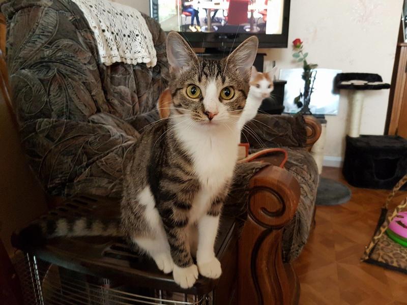 VENUS (ex TITI) - chaton femelle, née avril 2016 - En FA chez Abysse (92) - ADOPTEE PAR ANNE et FATLUM (depart94) Titi1211