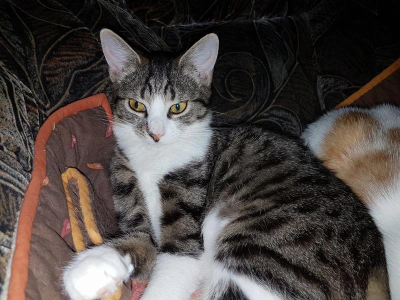 VENUS (ex TITI) - chaton femelle, née avril 2016 - En FA chez Abysse (92) - ADOPTEE PAR ANNE et FATLUM (depart94) Venus10