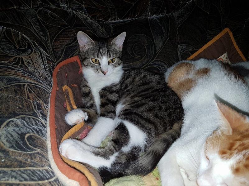 VENUS (ex TITI) - chaton femelle, née avril 2016 - En FA chez Abysse (92) - ADOPTEE PAR ANNE et FATLUM (depart94) Venus110