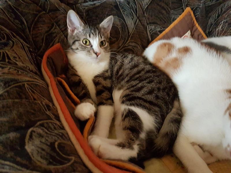 VENUS (ex TITI) - chaton femelle, née avril 2016 - En FA chez Abysse (92) - ADOPTEE PAR ANNE et FATLUM (depart94) Venus210