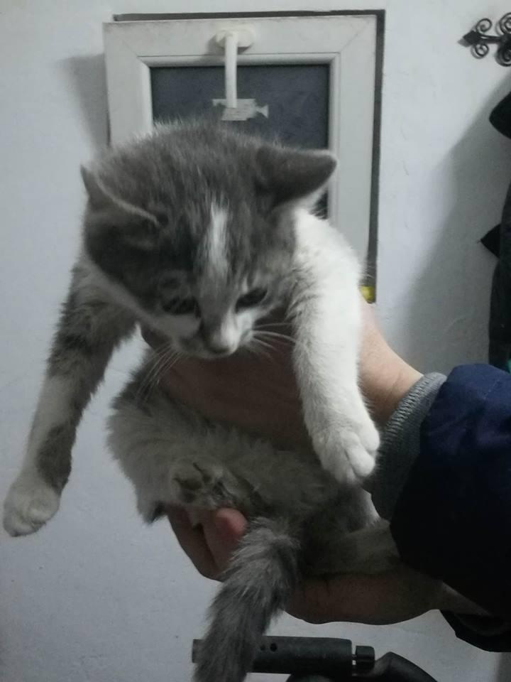 VOYOU, chaton mâle, né en Août/septembre 2016 (Pascani) - en FA chez Abysse (dpt92) - ADOPTE PAR VALERIE (92) Voyou10