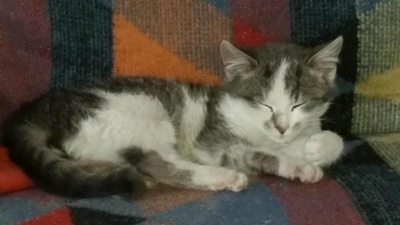 VOYOU, chaton mâle, né en Août/septembre 2016 (Pascani) - en FA chez Abysse (dpt92) - ADOPTE PAR VALERIE (92) Voyou11