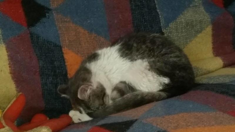 VOYOU, chaton mâle, né en Août/septembre 2016 (Pascani) - en FA chez Abysse (dpt92) - ADOPTE PAR VALERIE (92) Voyou110