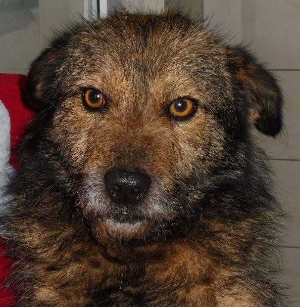 YODA - chien croisé fox mâle de taille petite né en 2016 - (Pascani) REMEMBER ME LAND- adopté par Leo (Belgique) Yoda110