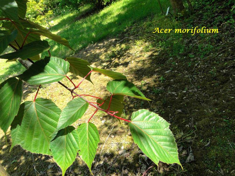 (29) Arboretum de Keracoual - Henvic  Acer_m10