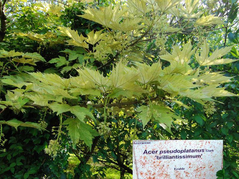(29) Arboretum de Keracoual - Henvic  Acer_p10