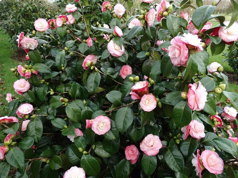 deux ou trois fleurs dans le vent C_japo10