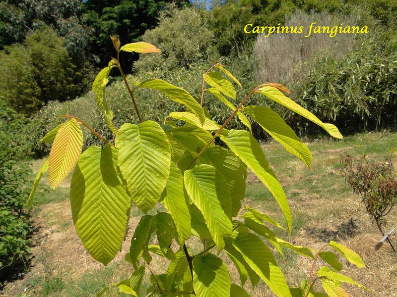 (29) Arboretum de Keracoual - Henvic  Carpin11