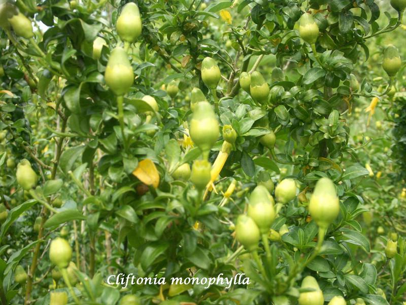 (29) Arboretum de Keracoual - Henvic  Clifto10