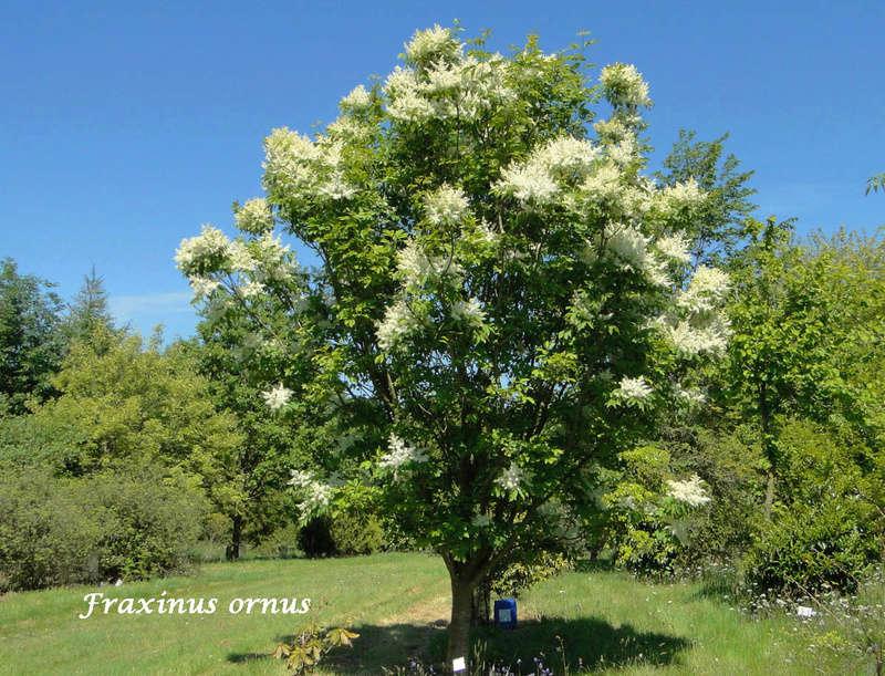 (29) Arboretum de Keracoual - Henvic  Fraxin10