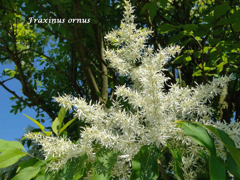 (29) Arboretum de Keracoual - Henvic  Fraxin11