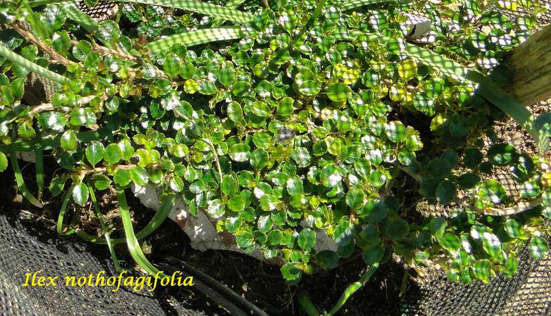 (29) Arboretum de Keracoual - Henvic  Ilex_n13