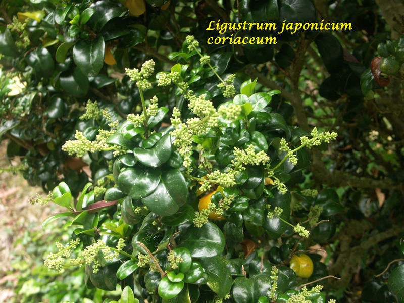 (29) Arboretum de Keracoual - Henvic  Ligust11