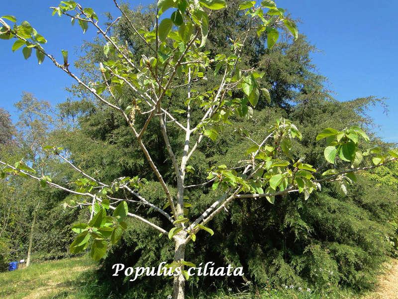 (29) Arboretum de Keracoual - Henvic  Populu11
