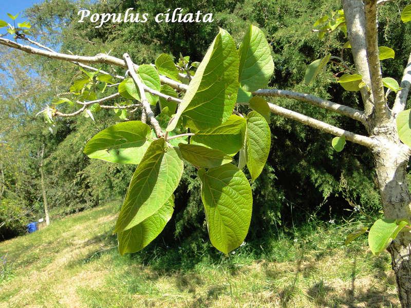(29) Arboretum de Keracoual - Henvic  Populu12