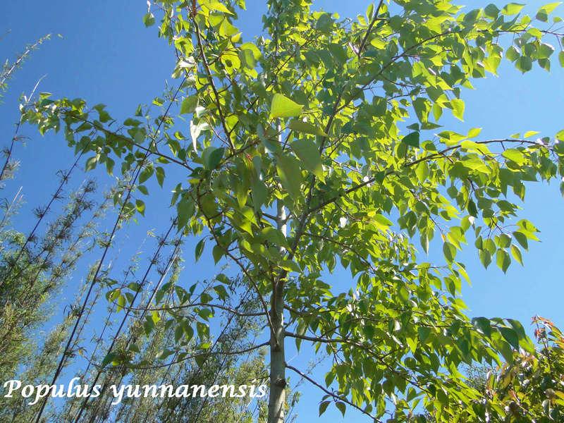 (29) Arboretum de Keracoual - Henvic  Populu13