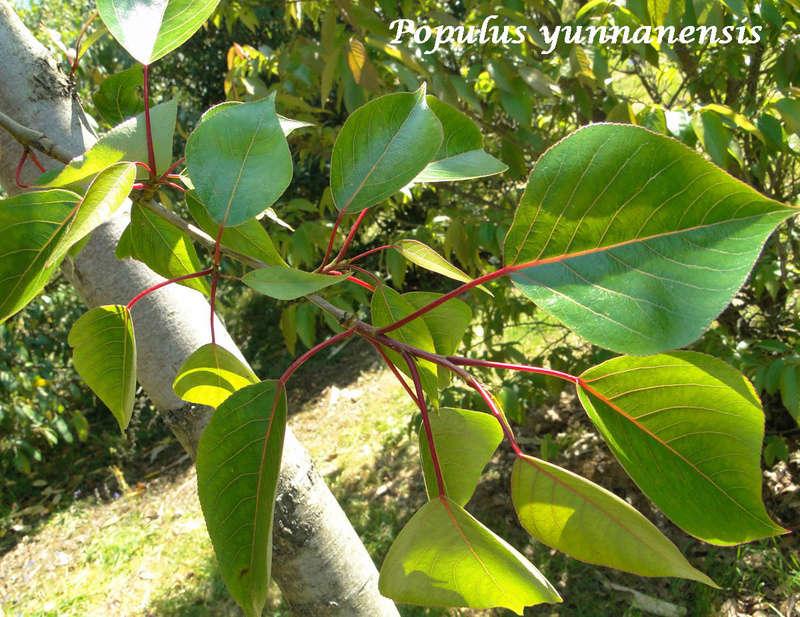 (29) Arboretum de Keracoual - Henvic  Populu14