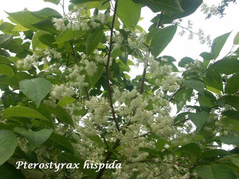 (29) Arboretum de Keracoual - Henvic  Pteros10
