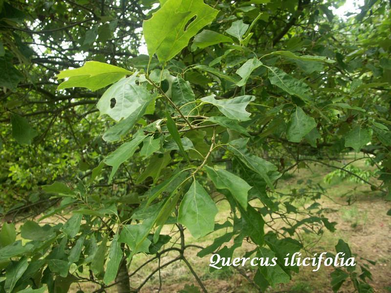 (29) Arboretum de Keracoual - Henvic  - Page 2 Quercu11