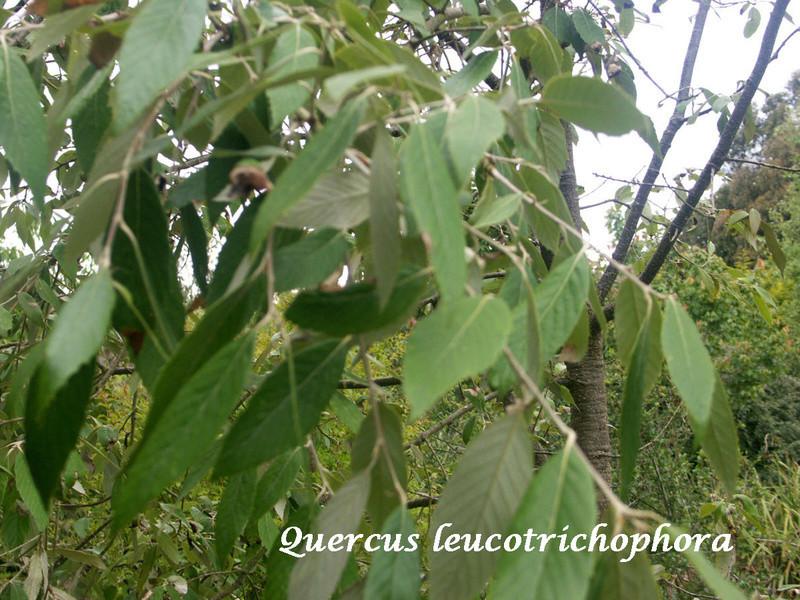(29) Arboretum de Keracoual - Henvic  - Page 2 Quercu12