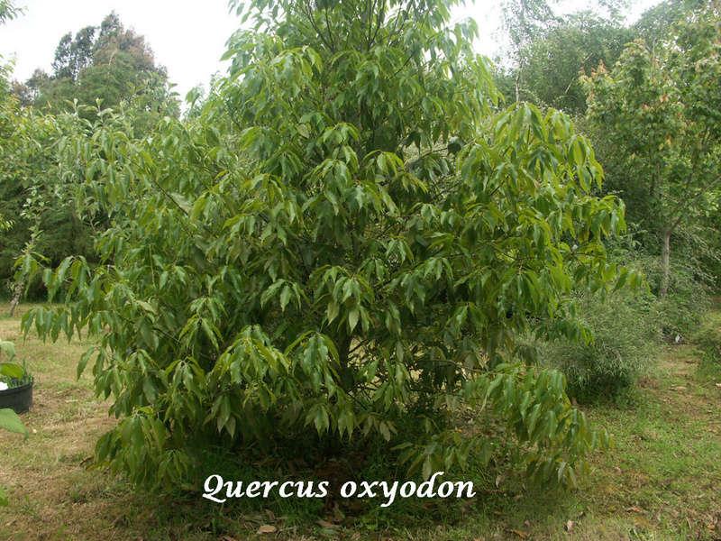 (29) Arboretum de Keracoual - Henvic  - Page 2 Quercu14