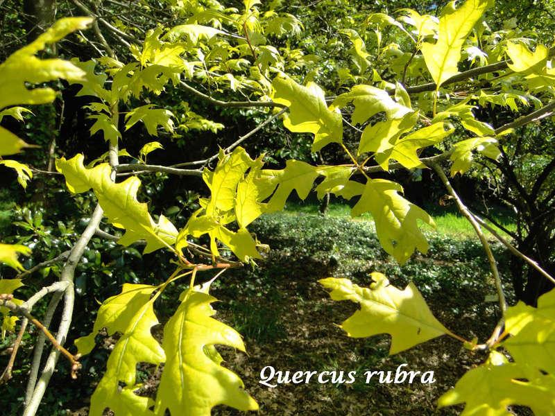 (29) Arboretum de Keracoual - Henvic  - Page 2 Quercu17
