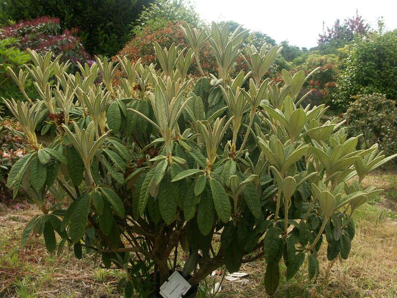 (29) Arboretum de Keracoual - Henvic  - Page 2 Rhodo10