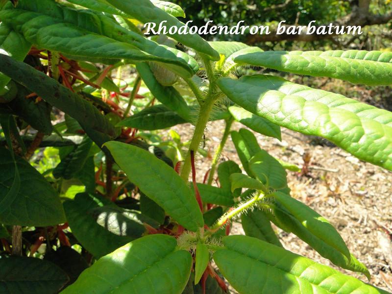 (29) Arboretum de Keracoual - Henvic  - Page 2 Rhodo_10