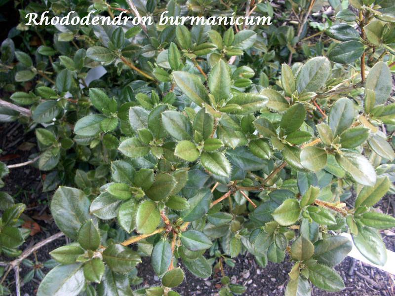 (29) Arboretum de Keracoual - Henvic  - Page 2 Rhodo_11